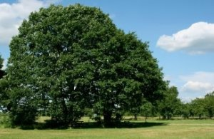 oak-tree-in-summer_21035505